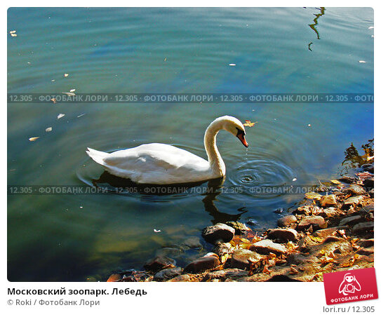 Московский зоопарк. Лебедь, фото № 12305, снято 24 сентября 2006 г. (c) Roki / Фотобанк Лори
