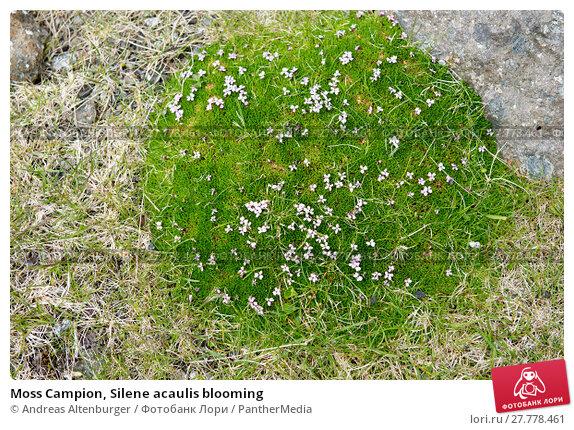 Купить «Moss Campion, Silene acaulis blooming», фото № 27778461, снято 22 апреля 2019 г. (c) PantherMedia / Фотобанк Лори