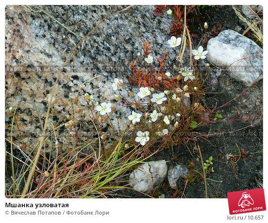 Мшанка узловатая, фото № 10657, снято 4 августа 2004 г. (c) Вячеслав Потапов / Фотобанк Лори