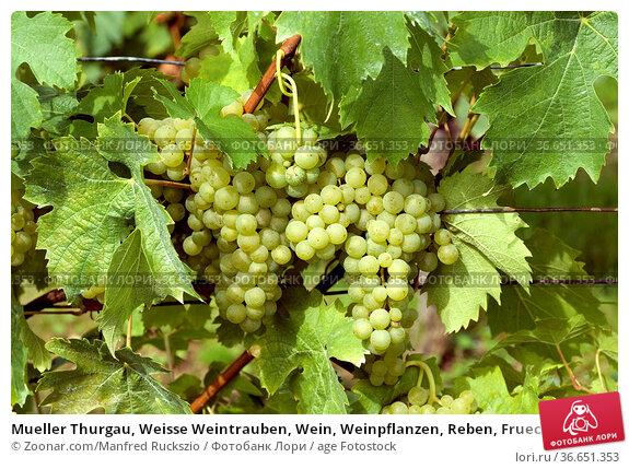 Mueller Thurgau, Weisse Weintrauben, Wein, Weinpflanzen, Reben, Fruechte... Стоковое фото, фотограф Zoonar.com/Manfred Ruckszio / age Fotostock / Фотобанк Лори