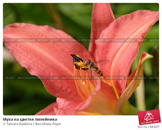 Муха на цветке лилейника, фото № 58837, снято 7 июля 2007 г. (c) Tamara Kulikova / Фотобанк Лори
