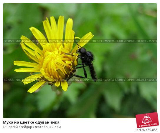 Муха на цветке одуванчика, фото № 30053, снято 28 мая 2006 г. (c) Сергей Ксейдор / Фотобанк Лори