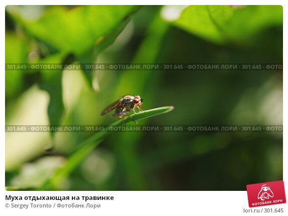 Муха отдыхающая на травинке, фото № 301645, снято 11 мая 2008 г. (c) Sergey Toronto / Фотобанк Лори