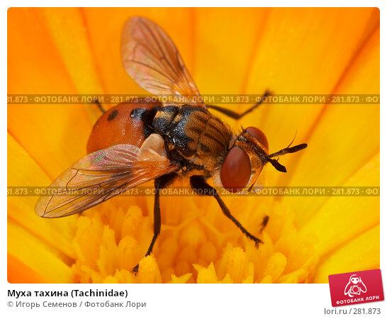 Муха тахина (Tachinidae), фото № 281873, снято 21 июля 2007 г. (c) Игорь Семенов / Фотобанк Лори
