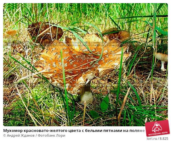 Мухомор красновато-желтого цвета с белыми пятнами на поляне, фото № 8825, снято 30 мая 2017 г. (c) Андрей Жданов / Фотобанк Лори