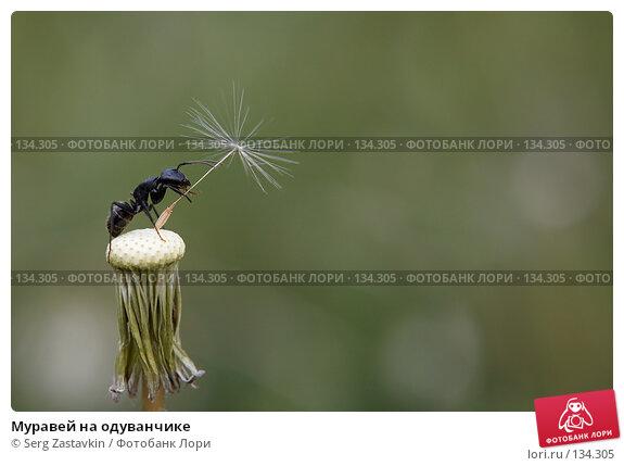 Муравей на одуванчике, фото № 134305, снято 2 июля 2006 г. (c) Serg Zastavkin / Фотобанк Лори