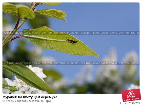 Муравей на цветущей черемухе, фото № 279709, снято 10 мая 2008 г. (c) Игорь Соколов / Фотобанк Лори