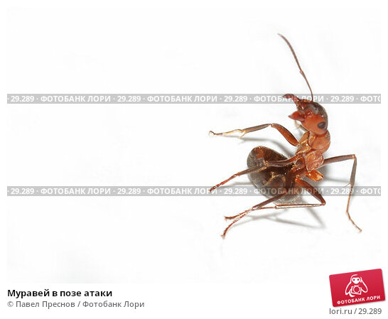 Муравей в позе атаки, фото № 29289, снято 1 апреля 2007 г. (c) Павел Преснов / Фотобанк Лори