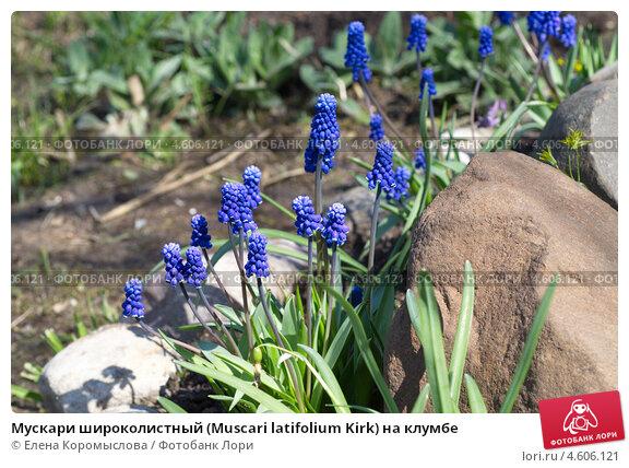 Купить «Мускари широколистный (Мuscari latifolium Kirk) на клумбе», эксклюзивное фото № 4606121, снято 8 мая 2013 г. (c) Елена Коромыслова / Фотобанк Лори