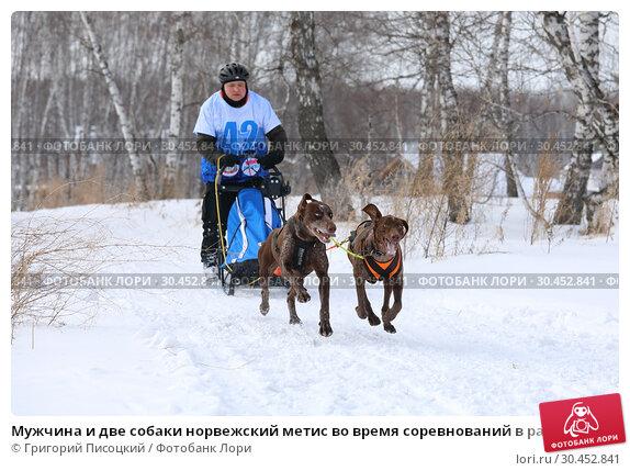 Мужчина и две собаки норвежский метис во время соревнований в рамках праздника Хаскифест-2019 в городе Новосибирске. Редакционное фото, фотограф Григорий Писоцкий / Фотобанк Лори