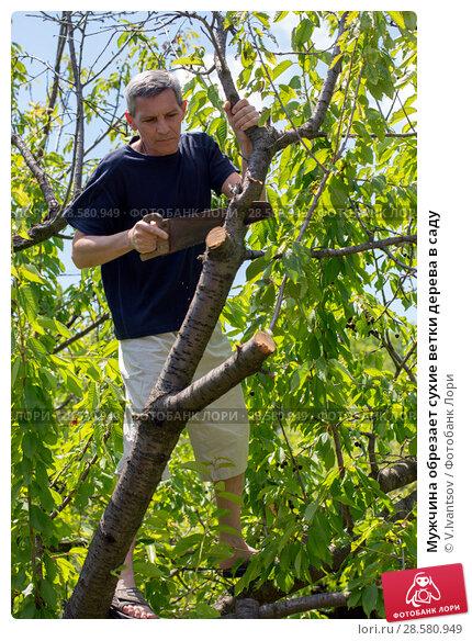 Купить «Мужчина обрезает сухие ветки дерева в саду», фото № 28580949, снято 10 июня 2018 г. (c) V.Ivantsov / Фотобанк Лори