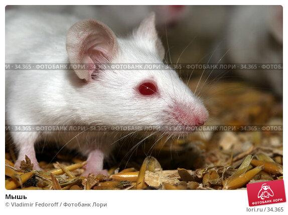 Мышь, фото № 34365, снято 17 апреля 2007 г. (c) Vladimir Fedoroff / Фотобанк Лори