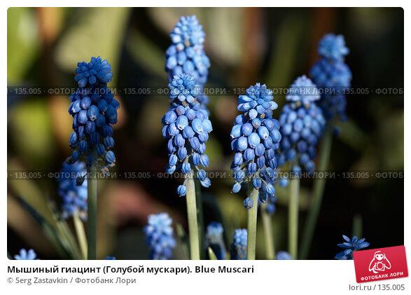 Мышиный гиацинт (Голубой мускари). Blue Muscari, фото № 135005, снято 31 мая 2006 г. (c) Serg Zastavkin / Фотобанк Лори