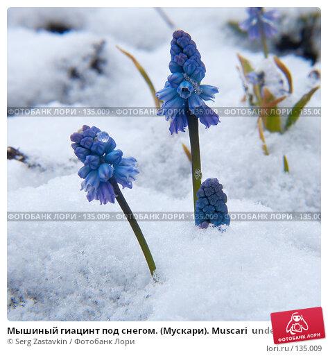 Мышиный гиацинт под снегом. (Мускари). Muscari  under the snow, фото № 135009, снято 2 мая 2006 г. (c) Serg Zastavkin / Фотобанк Лори