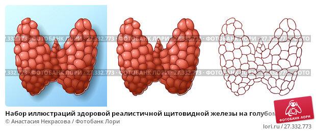 Купить «Набор иллюстраций здоровой реалистичной щитовидной железы на голубом фоне с тенью, изолированно на белом и контурный рисунок», иллюстрация № 27332773 (c) Анастасия Некрасова / Фотобанк Лори
