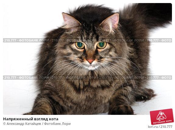 Купить «Напряженный взгляд кота», фото № 210777, снято 20 января 2008 г. (c) Александр Катайцев / Фотобанк Лори