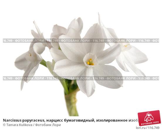 Narcissus papyraceus, нарцисс бумаговидный, изолированное изображение, фото № 116749, снято 14 ноября 2007 г. (c) Tamara Kulikova / Фотобанк Лори