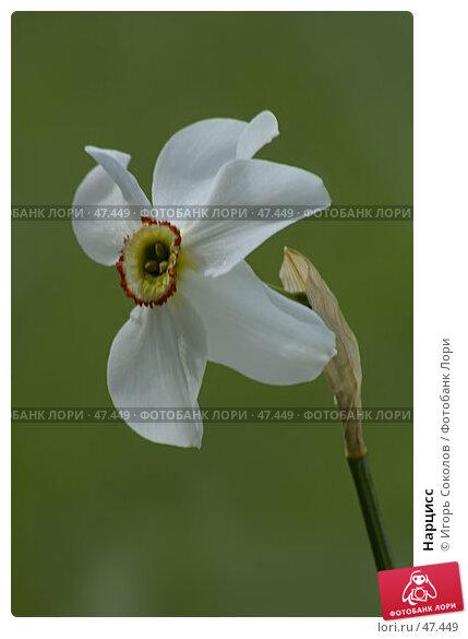 Нарцисс, фото № 47449, снято 26 апреля 2017 г. (c) Игорь Соколов / Фотобанк Лори