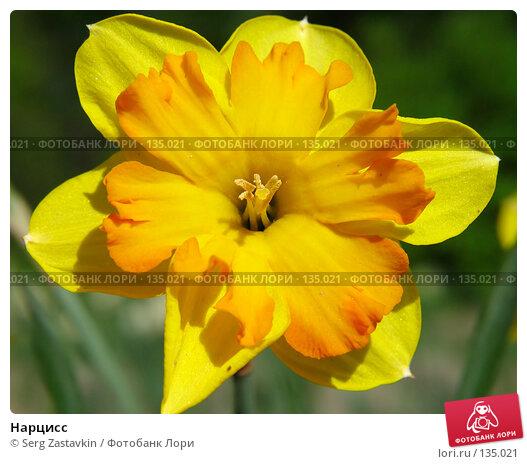 Купить «Нарцисс», фото № 135021, снято 20 мая 2005 г. (c) Serg Zastavkin / Фотобанк Лори