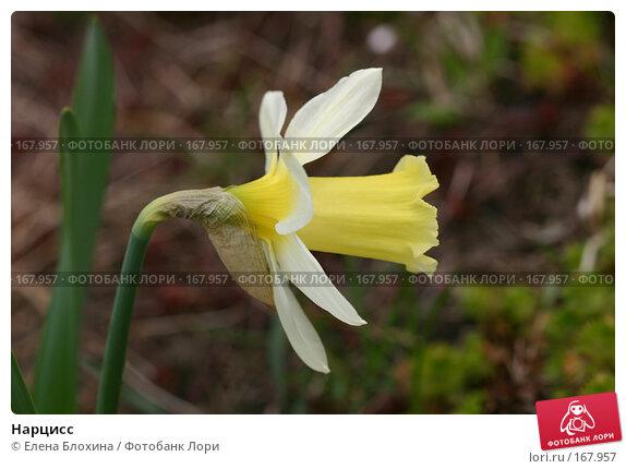 Нарцисс, фото № 167957, снято 27 апреля 2007 г. (c) Елена Блохина / Фотобанк Лори