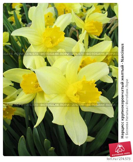 Нарцисс крупнокорончатый желтый - Narcissus, фото № 274573, снято 27 мая 2006 г. (c) Беляева Наталья / Фотобанк Лори