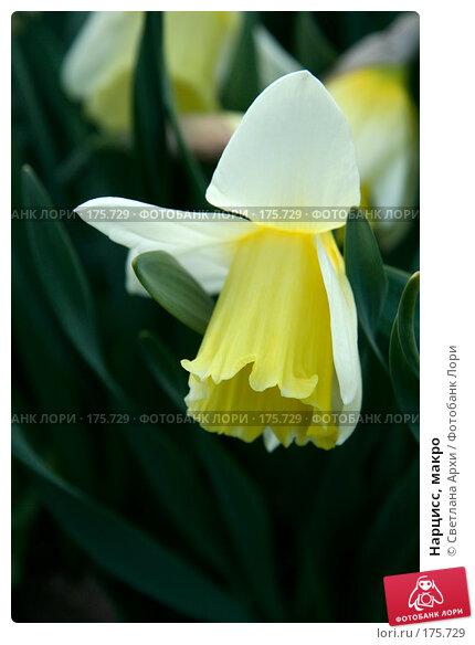 Нарцисс, макро, фото № 175729, снято 29 апреля 2007 г. (c) Светлана Архи / Фотобанк Лори