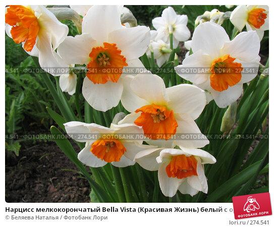 Купить «Нарцисс мелкокорончатый Bella Vista (Красивая Жизнь) белый с оранжевой коронкой - Narcissus», фото № 274541, снято 31 мая 2006 г. (c) Беляева Наталья / Фотобанк Лори