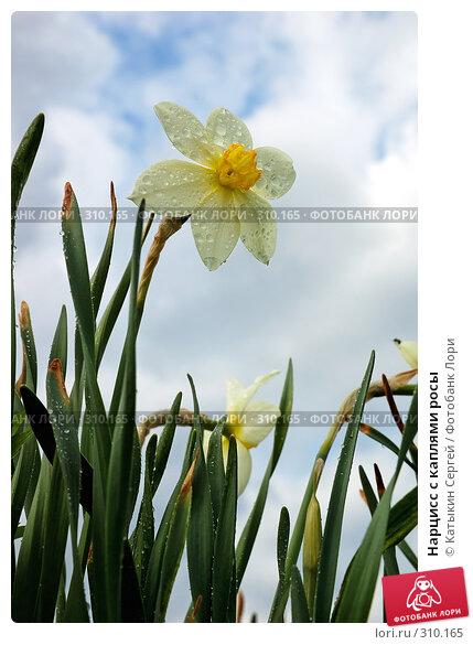 Купить «Нарцисс с каплями росы», фото № 310165, снято 9 мая 2008 г. (c) Катыкин Сергей / Фотобанк Лори