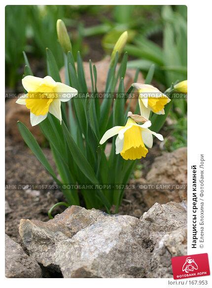 Нарциссы среди камней, фото № 167953, снято 24 апреля 2007 г. (c) Елена Блохина / Фотобанк Лори