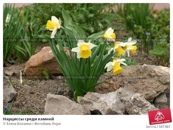 Нарциссы среди камней, фото № 167961, снято 27 апреля 2007 г. (c) Елена Блохина / Фотобанк Лори