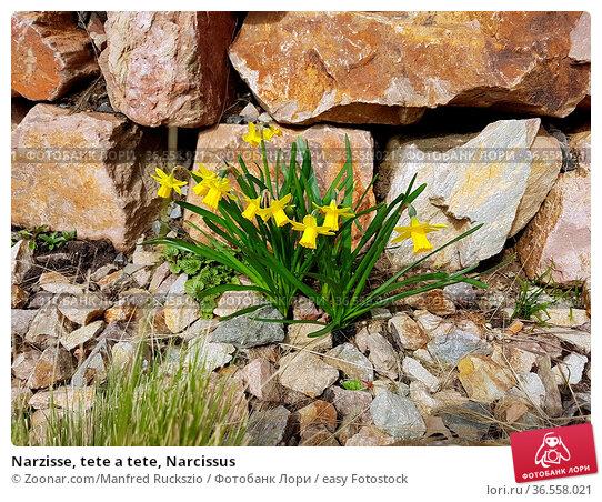 Narzisse, tete a tete, Narcissus. Стоковое фото, фотограф Zoonar.com/Manfred Ruckszio / easy Fotostock / Фотобанк Лори