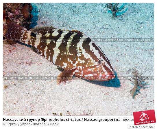 Купить «Нассауский групер (Epinephelus striatus / Nassau grouper) на песчаном дне», фото № 3593589, снято 11 декабря 2011 г. (c) Сергей Дубров / Фотобанк Лори