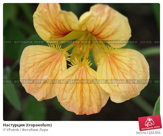 Купить «Настурция (tropaeolum)», фото № 233933, снято 22 августа 2004 г. (c) VPutnik / Фотобанк Лори