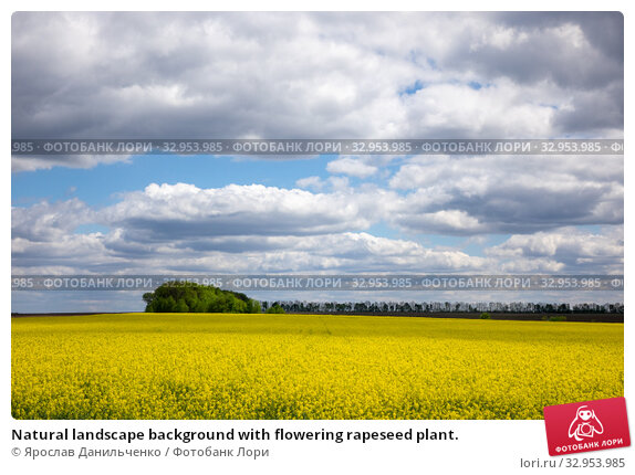 Natural landscape background with flowering rapeseed plant. Стоковое фото, фотограф Ярослав Данильченко / Фотобанк Лори