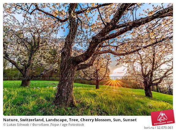 Nature, Switzerland, Landscape, Tree, Cherry blossom, Sun, Sunset. Стоковое фото, фотограф Lukas Schwab / age Fotostock / Фотобанк Лори