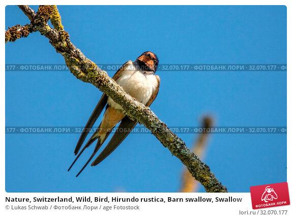 Nature, Switzerland, Wild, Bird, Hirundo rustica, Barn swallow, Swallow. Стоковое фото, фотограф Lukas Schwab / age Fotostock / Фотобанк Лори