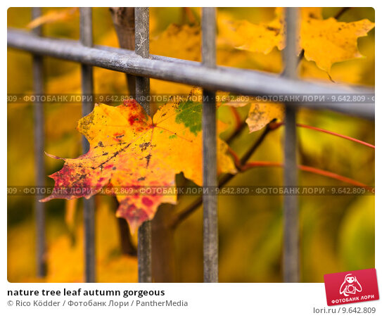 Купить «nature tree leaf autumn gorgeous», фото № 9642809, снято 17 сентября 2019 г. (c) PantherMedia / Фотобанк Лори