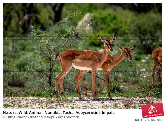 Nature, Wild, Animal, Namibia, Tasha, Aepycerotini, Impala. Стоковое фото, фотограф Lukas Schwab / age Fotostock / Фотобанк Лори