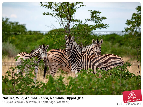 Nature, Wild, Animal, Zebra, Namibia, Hippotigris. Стоковое фото, фотограф Lukas Schwab / age Fotostock / Фотобанк Лори