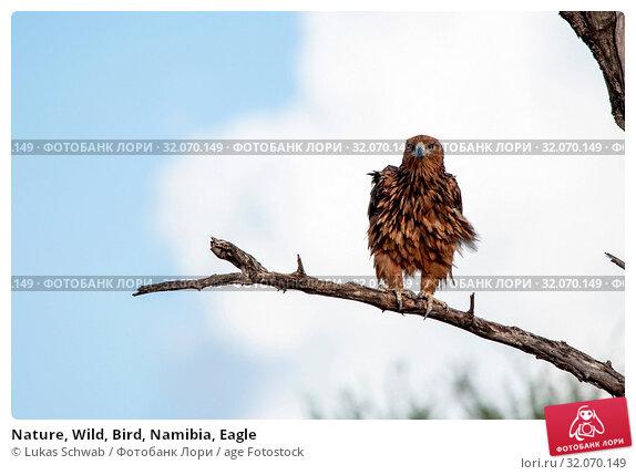 Nature, Wild, Bird, Namibia, Eagle. Стоковое фото, фотограф Lukas Schwab / age Fotostock / Фотобанк Лори