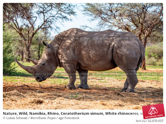 Nature, Wild, Namibia, Rhino, Ceratotherium simum, White rhinoceros, square-lipped rhinoceros, Rhinoceros. Стоковое фото, фотограф Lukas Schwab / age Fotostock / Фотобанк Лори