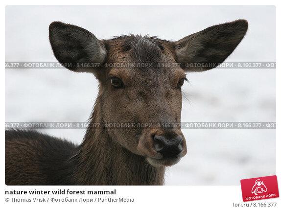 Купить «nature winter wild forest mammal», фото № 8166377, снято 24 марта 2019 г. (c) PantherMedia / Фотобанк Лори