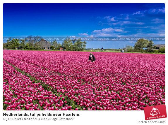 Nedherlands, tulips fields near Haarlem. Стоковое фото, фотограф J.D. Dallet / age Fotostock / Фотобанк Лори