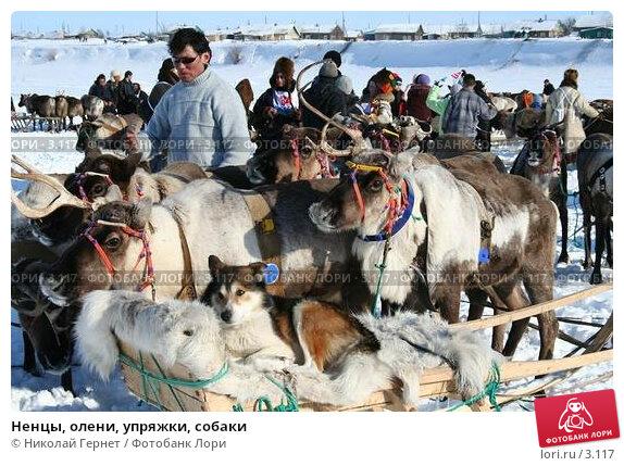 Ненцы, олени, упряжки, собаки, фото № 3117, снято 25 марта 2006 г. (c) Николай Гернет / Фотобанк Лори