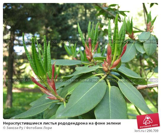 Нераспустившиеся листья рододендрона на фоне зелени, фото № 290709, снято 17 мая 2008 г. (c) Заноза-Ру / Фотобанк Лори