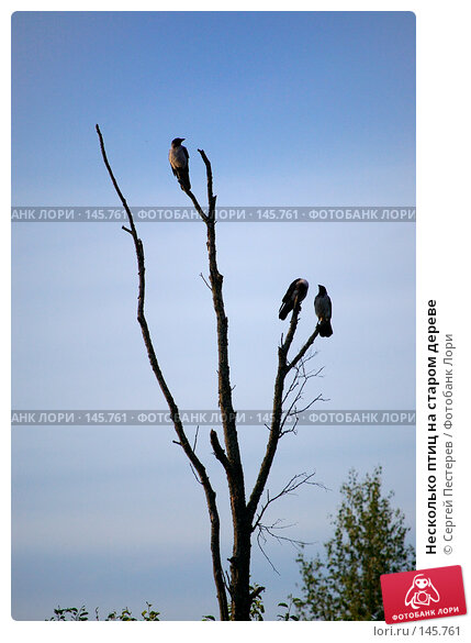 Несколько птиц на старом дереве, фото № 145761, снято 10 июня 2007 г. (c) Сергей Пестерев / Фотобанк Лори