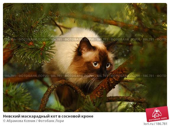 Невский маскарадный кот в сосновой кроне, фото № 186781, снято 6 июля 2007 г. (c) Абрамова Ксения / Фотобанк Лори