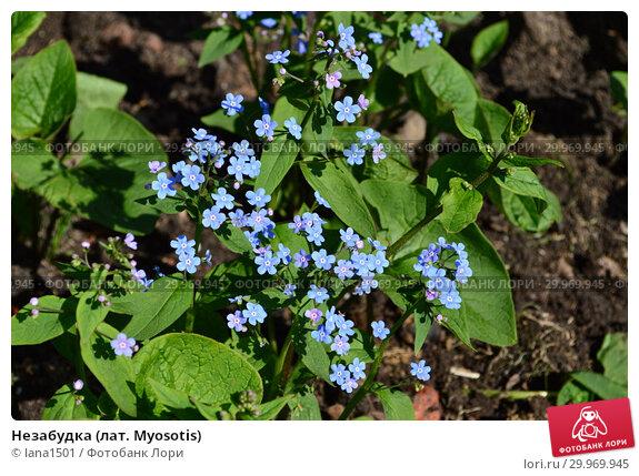 Купить «Незабудка (лат. Myosotis)», эксклюзивное фото № 29969945, снято 8 мая 2015 г. (c) lana1501 / Фотобанк Лори