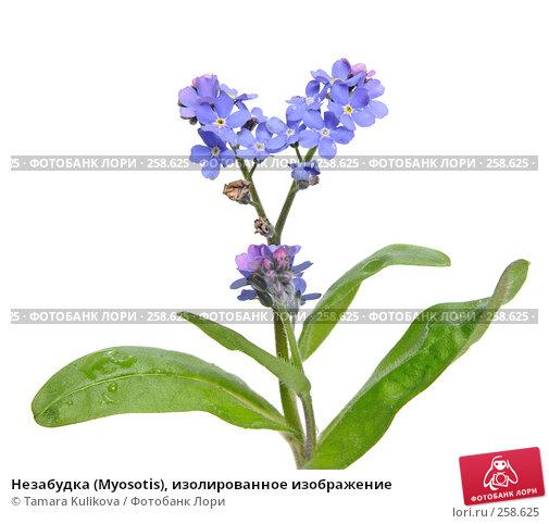 Незабудка (Myosotis), изолированное изображение, фото № 258625, снято 21 апреля 2008 г. (c) Tamara Kulikova / Фотобанк Лори