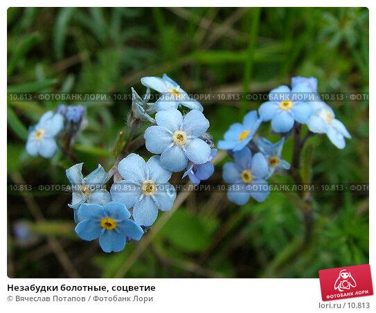 Купить «Незабудки болотные, соцветие», фото № 10813, снято 17 мая 2004 г. (c) Вячеслав Потапов / Фотобанк Лори